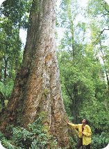 Wilderness. Giant tree and person